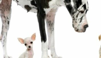 Derfor kan hunder bli bittesmå og kjempestore