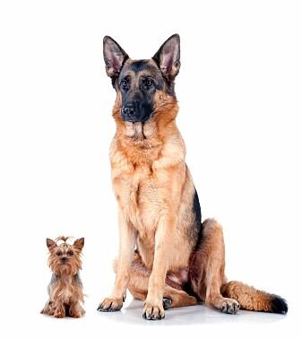 Hunderaser man tidligere trodde kunne spores tilbake til vikingtiden eller helt tilbake til faraoenes tid, har vist seg å være mye yngre. Bare et fåtall av dagens hunderaser er eldre enn 200 år gamle. I dag kan hunder bli både skikkelig store og veldig små.(Foto: Melory / Shutterstock / NTB scanpix)