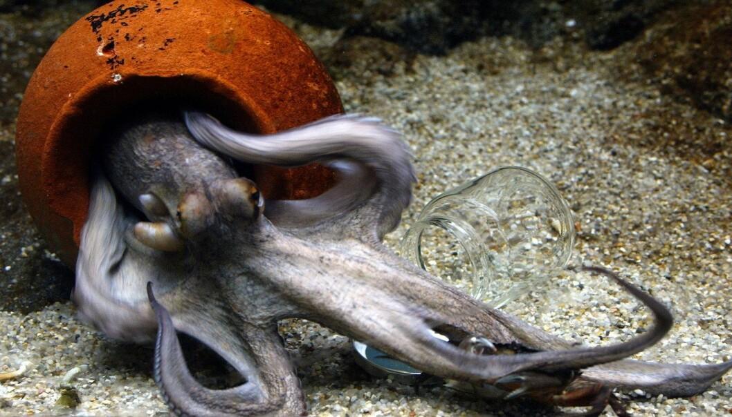Forskere har funnet en uforklarlig økning i antall blekkspruter i samtlige verdenshav, uansett hva slags økologisk miljø de lever i. (Foto: Jørgen Jessen, NTB scanpix)