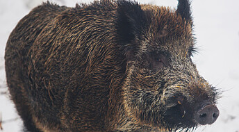 Titusener flere villsvin i Norge på få år