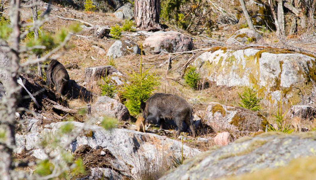 Her er flere villsvin i skogen i Sverige. (Foto: Shutterstock / NTB Scanpix)