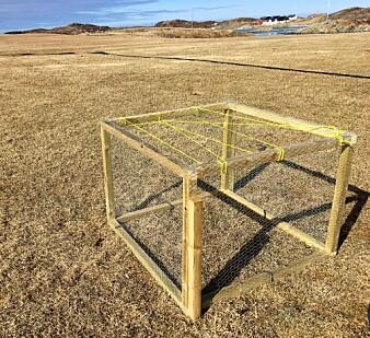 Dette vekstburet beskytter mot beiting, og blir et mål på maksimal produksjon på jordene. På dette jordet drives det kontinuerlig skadefelling av grågås for å hindre den fra å beite. (Foto: Jo Jorem Aarseth, NIBIO)