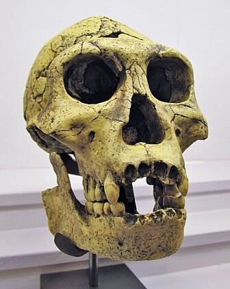 En Homo erectus-skalle fra Georgia. (Bilde: Rama)