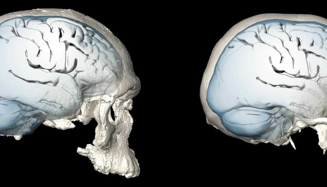 Til venstre i bildet kan du se et av de eldste Homo sapiens som har blitt funnet, sammenlignet med en Homo sapiens-skalle fra vår tid. Du kan tydelig se hvordan hjernen til venstre er mer avlang sammenlignet med den rundere til høyre.  (Bilde: Simon Neubauer, Philipp Gunz, MPI EVA Leipzig/CC-BY-SA 4.0)