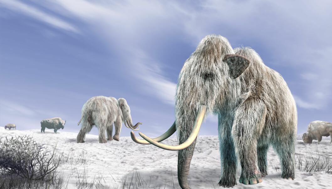 Bør vi bringe mammuter tilbake? Er det i det hele tatt mulig? (Illustrasjon: Colourbox)