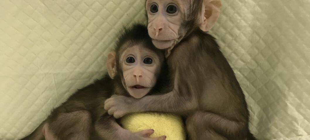 Møt klonene Zhong Zhong og Hua Hua