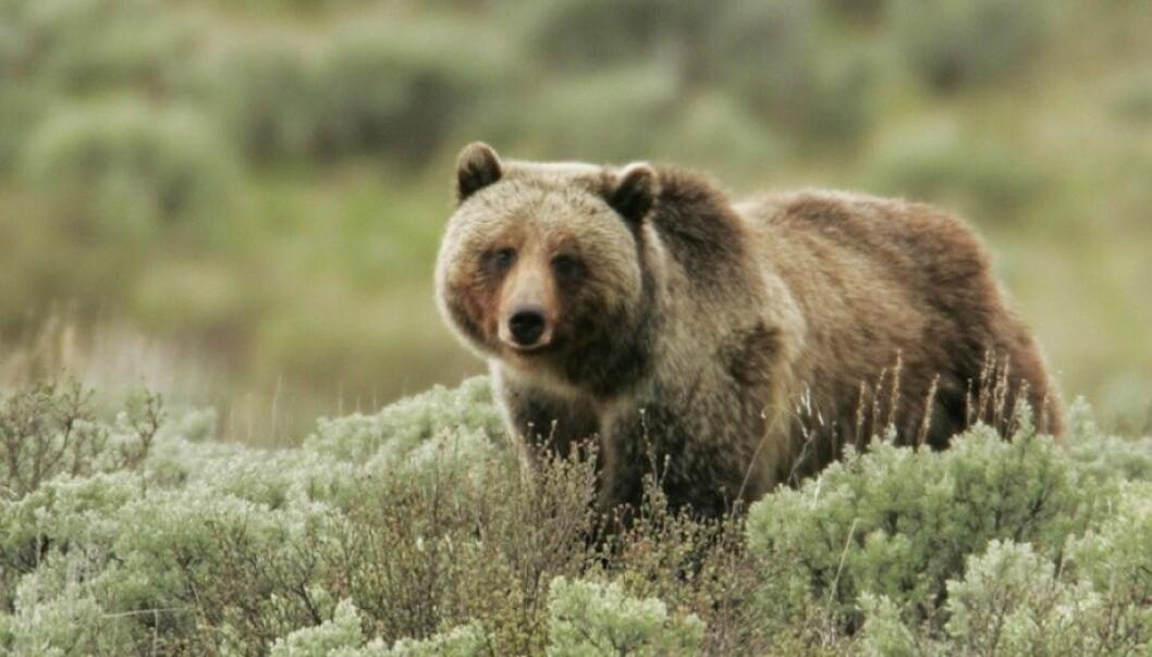 Bjørnen i den amerikanske nasjonalparken Yellowstone kan nå spise seg mett på bær. Det er takket være at reintrodusert ulv har redusert bestanden av hjortedyr. (Foto: Yellowstone National Park)