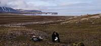 Svalbard blir ikke grønnere