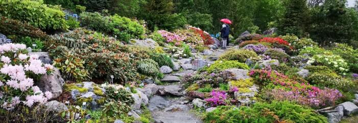 Rhododendron-samlinga 26. juni 2018. (Foto: Arve Elvebakk)
