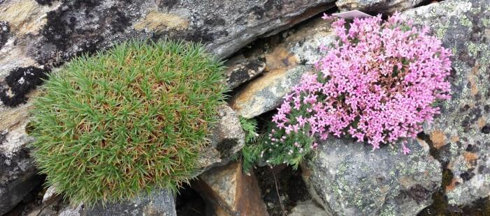 Rosa <i>Asperula sintenisii</i> frå NV-Tyrkia og en 'piggtrådplante' i slekt med fjærekoll frå Tyrkia og Iran (<i>Acantholimon ulicinum</i>), i sprekker i Bot. hage (Foto: Arve Elvebakk)