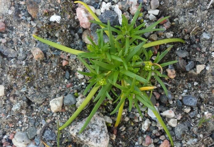 Antarktis-planten <i>Colobanthus quitensis</i> (nellikfamilien) i full blomstring! (Foto: Arve Elvebakk)