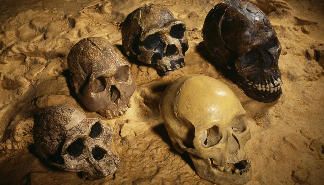 Hodeskaller fra <i>Homo sapiens</i> (øverst til høyre) og noen av våre forfedre. (Foto: Science Photo Library, NTB Scanpix)