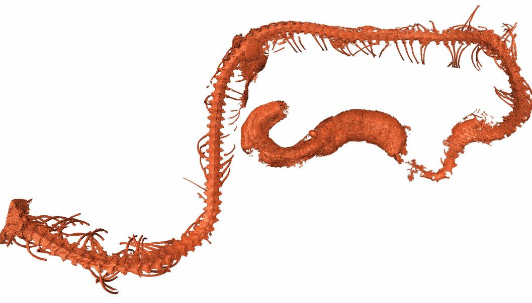 Røntgenbilde som viser ryggraden og ribbeina til slangen. Hodet manglet dessverre. (Bilde: Ming BAI, Chinese Academy of Sciences)