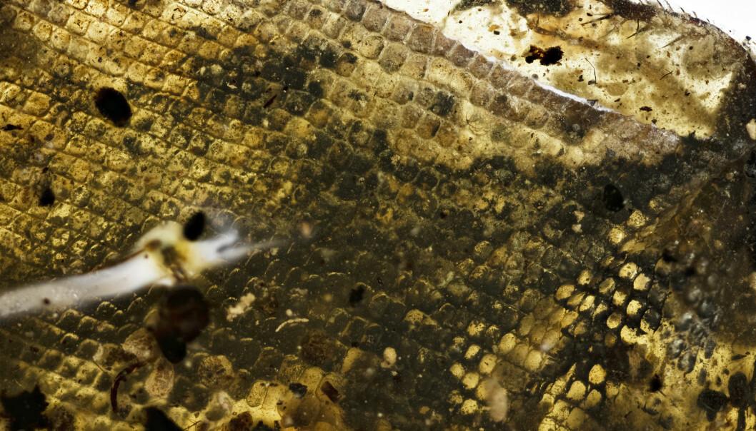 Nærbilde av slangehuden som er funnet i ravklumpen. (Bilde: Ryan MCKELLAR, Royal Saskatchewan Museum (RSM)