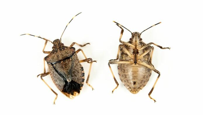 Breiteger (<i>Halyomorpha halys</i>) er middelsstore til store (5–25 millimeter), brede og ofte kraftig bygde teger. De har alle fem følehornsledd. Føttene har tre ledd. (Foto: Erling Fløistad)