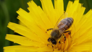 En honingbie er på jakt etter nektar i en lodnesveve.  (Foto: Alf Helge Søyland, Universitetet i Bergen)