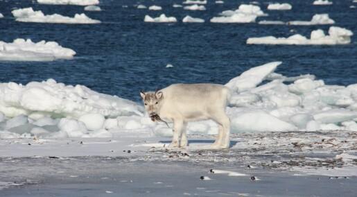 Svalbardreinen har begynt å spise tang og tare