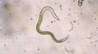 Kan disse ormene være løsningen på allergigåten?