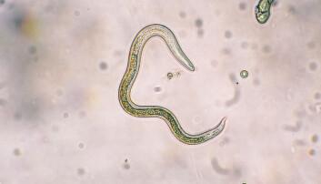 Allergi-ormen Toxocara Canis er sterkt forbundet med allergi hos unge personer. (Foto: Colourbox)