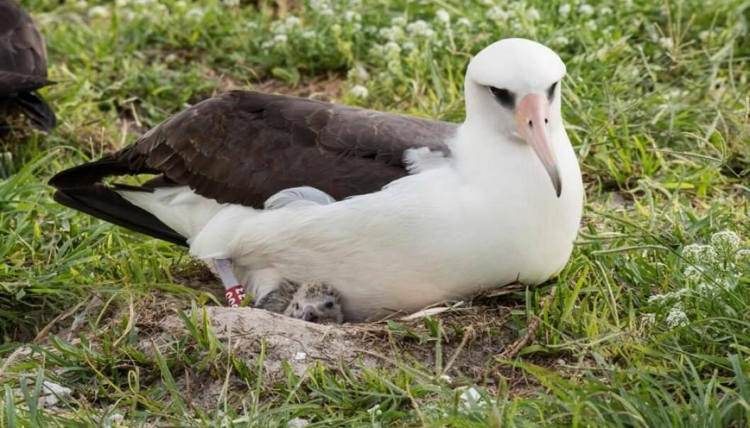 Albatrossen Wisdom har igjen vendt tilbake til sitt faste ynglested og lagt et egg. I en alder av 67 år er hun den eldste dokumenterte fuglen som yngler i det fri. Her ser vi henne med en nyutklekket unge i februar 2017, altså forrige gang hun ynglet.  (Foto: USFWS – Pacific Region)
