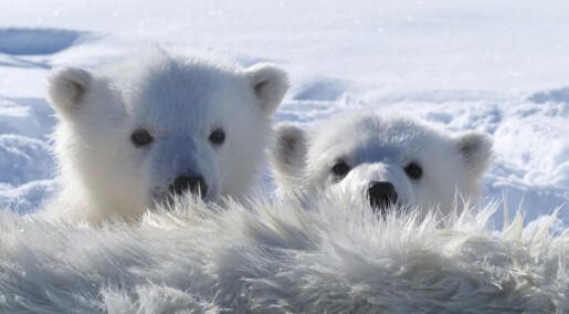 Mer miljøgifter i isbjørn som lever nær Russland