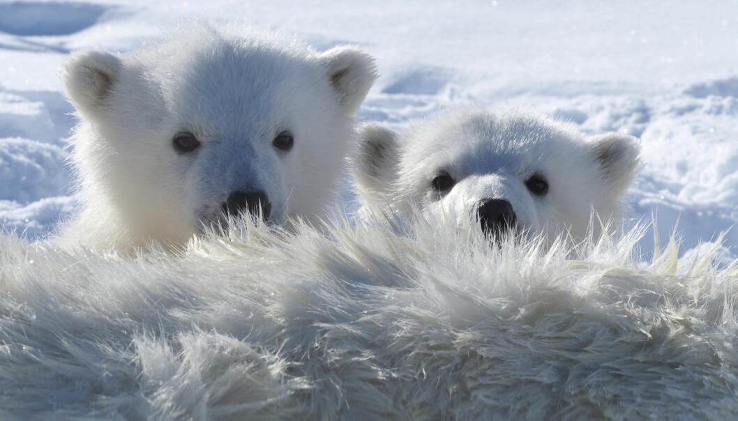 Isbjørn en av de arktiske artene som har høyest nivåer av miljøgifter i seg, og isbjørn i Barentshavet er blant de mest forurensede bjørner i Arktis. (Foto: Jon Aars, Norsk Polarinstitutt)