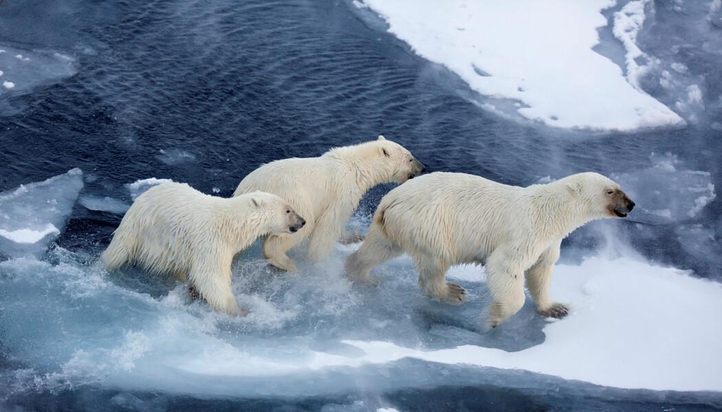 Vandring over store områder er energikrevende for isbjørn, og disse bjørnene trenger mer å spise enn de som holder seg på land over sommeren. Da blir også inntak av miljøgifter høyere. (Foto: Jon Aars, Norsk Polarinstitutt)