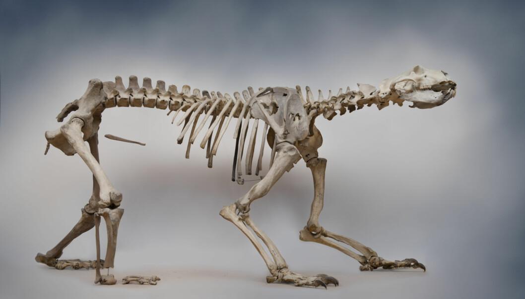 Det ferdig monterte isbjørnskjelettet måler omlag 2,3 meter og er halvannen meter bredt. Ryggen ruver mer enn en meter over bakken. (Foto: Terje Tveit, Arkeologisk museum, Universitetet i Stavanger)