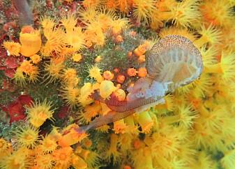 Se koraller spise en manet