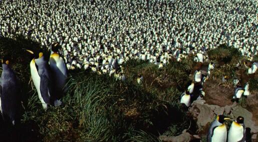 Pingvin-bestand har kollapset