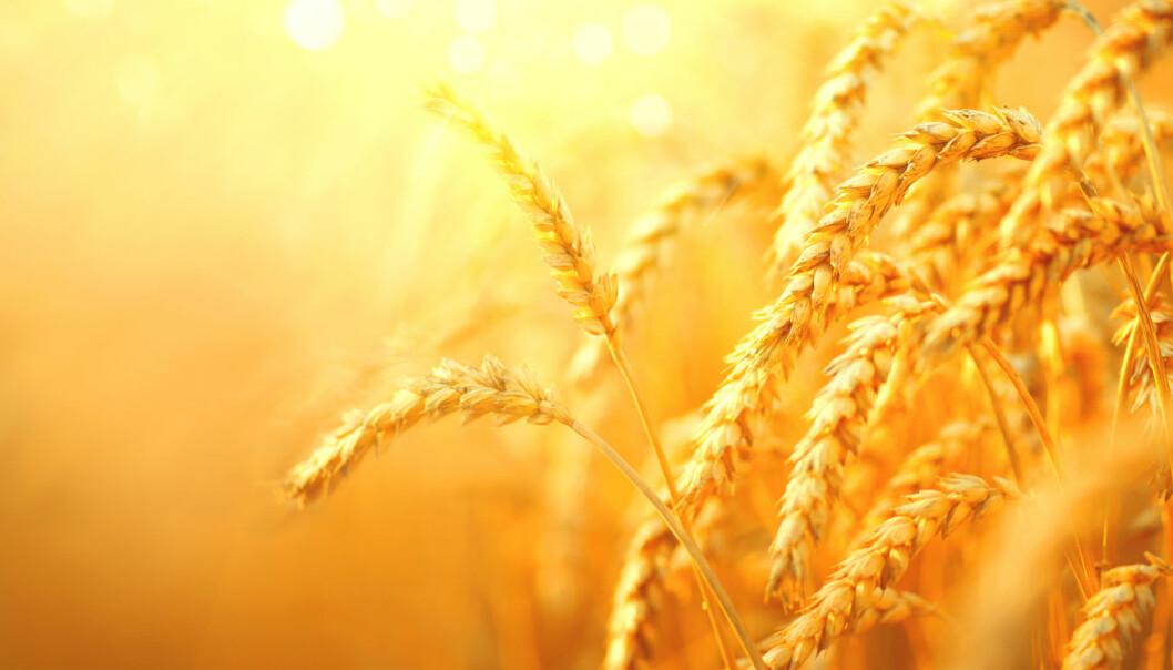 Det er faktisk umulig å se på en plante som denne hveten om den er mutert etter en gammel eller ny metode. Likevel blir nye metoder nå strengt regulert. (Foto: Subbotina Anna / Shutterstock / NTB scanpix)