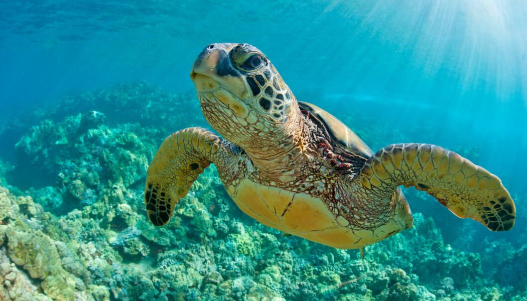Økt havtemperatur gir flere hunnhavskilpadder