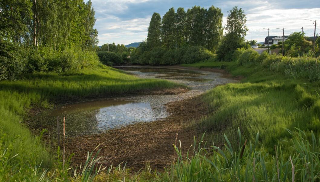 En nedtappet Lahelldammen i juli 2018 pga. vann til vanning av en salatåker. Kantene har blitt en «elvesnellesump» som er et svært dårlig egnet som leveområde for salamanderlarvene. (Foto Børre K. Dervo, NINA)