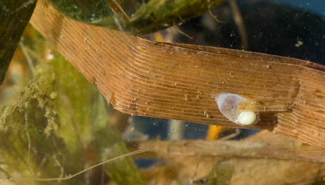 Eggene til storsalamanderen tørker ut når vannet tappes ned. En nedtapping på rundt 5 cm per døgn er nok til å tørrlegge de fleste eggene. (Foto Børre K. Dervo, NINA)
