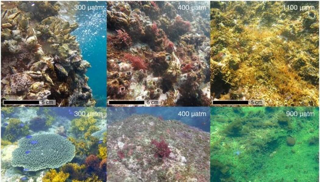 Bildene viser forskjellene i de marine samfunnene på steder hvor nivået av CO2 i vannet var på 300, 400, 900 og 1100 µatm. (Bildet er brukt med tillatelse fra Nature Publishing group).