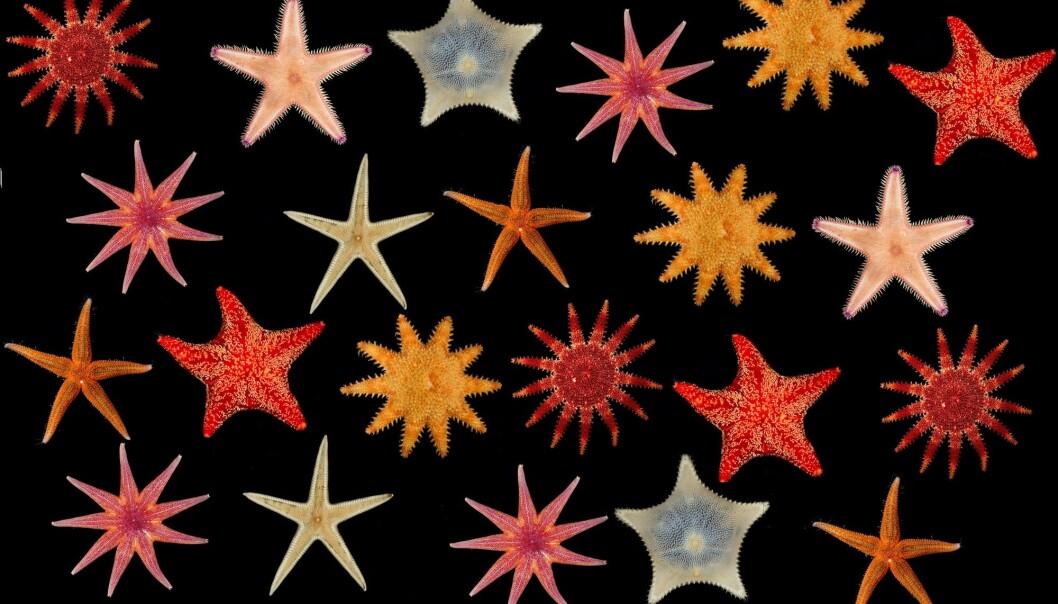 Visste du at vi har femti påviste sjøstjernearter i norske havområder? (Fotokollasj: Espen Rekdal, CC BY 4.0. Bearbeidet av forskning.no)