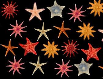 Disse sjøstjernene har du kanskje aldri sett før