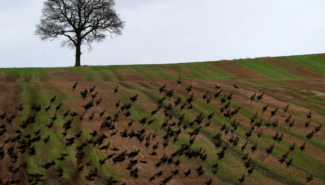 Fuglene i kulturlandskapet i England har blitt færre de siste tiårene, blant annet som følge av intensivt jordbruk. Men bøndene kan hjelpe dem tilbake. (Foto: Darren Staples/Reuters/NTB scanpix)