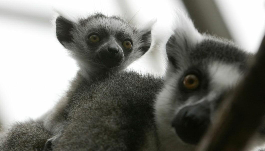 Lemurer fotografert i dyreparken i Kristiansand i 2008. (Foto: Tor Erik Schrøder, NTB scanpix)