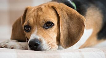 Hunders sædkvalitet faller markant