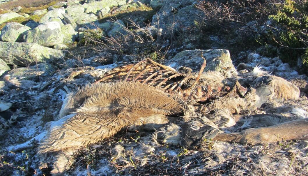 Vegetasjonen rundt kadaveret dør, både fordi bakken blir for næringsrik og fordi åtseletere roter opp bakken. (Foto: Sam Steyaert)
