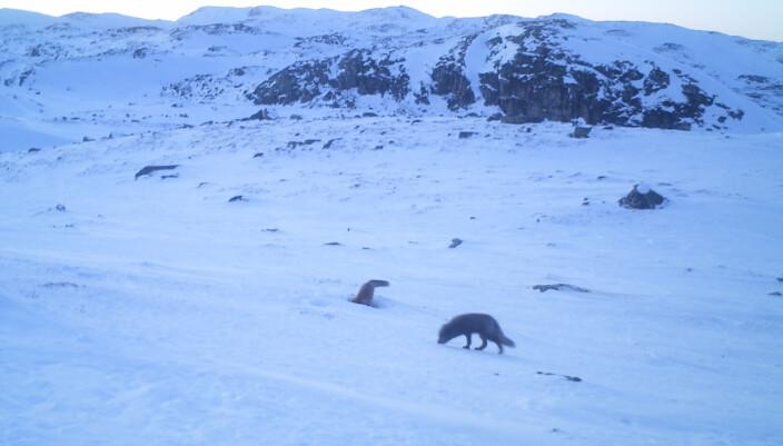 Det er ikke vanlig å fange både rødrev og fjellrev i samme bilde. Men her er de altså, foreviget i fotofellen til Statens naturoppsyn.