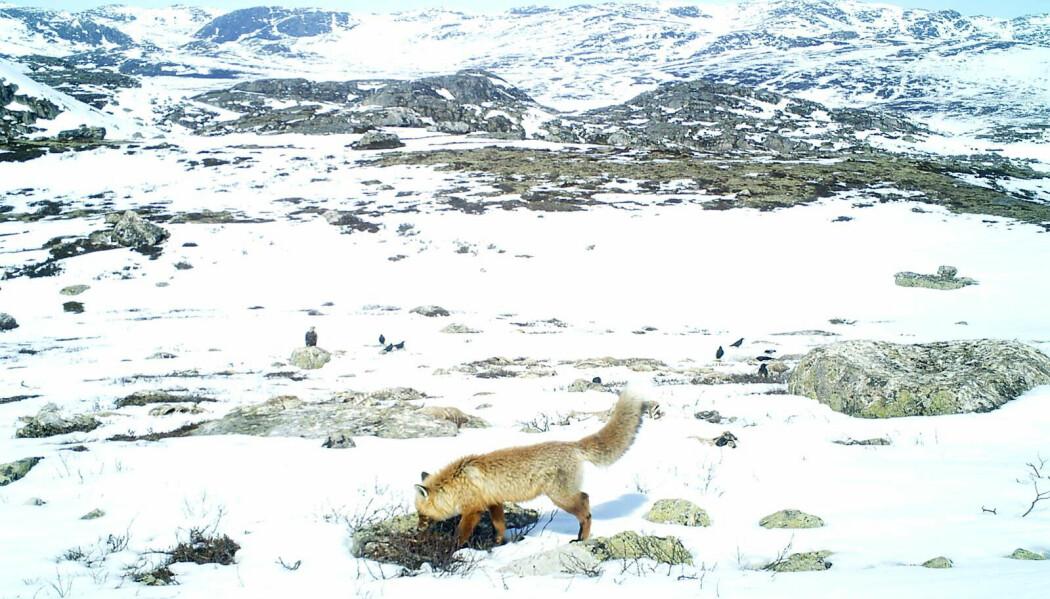 Reinsdyra er vintermat for både rødrev, ravn og ørn (på steinen i bakgrunnen). Bildet er tatt av fotofellen til Statens naturoppsyn.