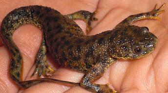 Hvordan klarer salamanderen å lage ny hale?