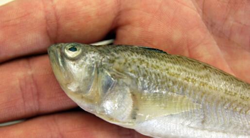 Snart blir denne giftige fisken museumsgjenstand