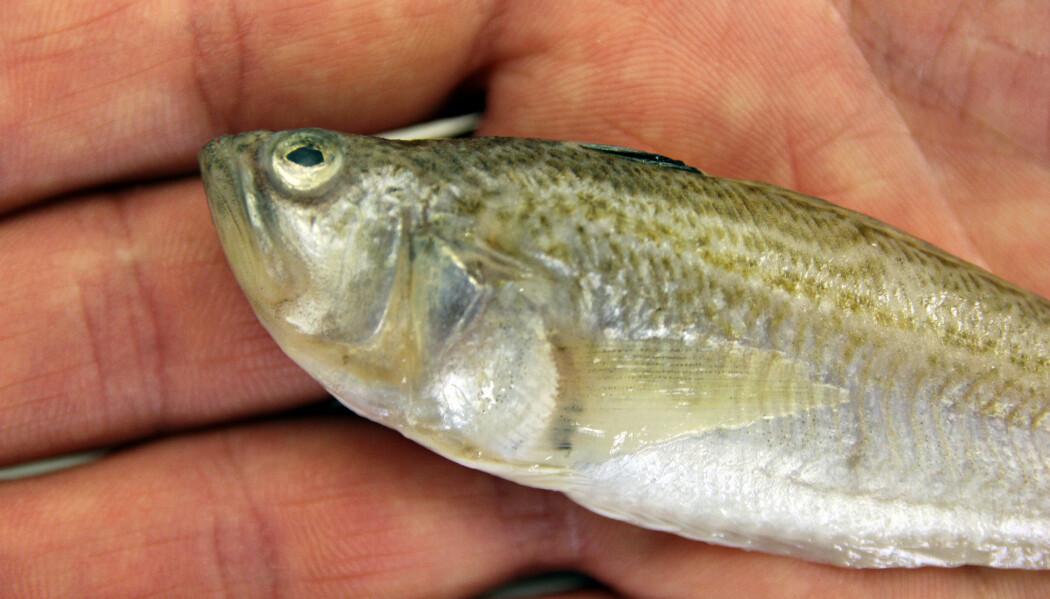 Dvergfjesingen hører egentlig ikke hjemme i norske farvann. Nå er det funnet tre eksemplarer av den på kort tid. Denne fisken skal legges på sprit og oppbevares som et beleggeksemplar hos Universitetsmuseet i Bergen. (Foto: Anders Jakobsen)