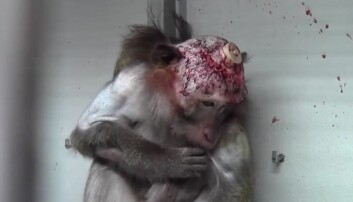 Videomaterialet viser aper som har fått operert inn implantater i hjernen. (Foto: Cruelty Free International)