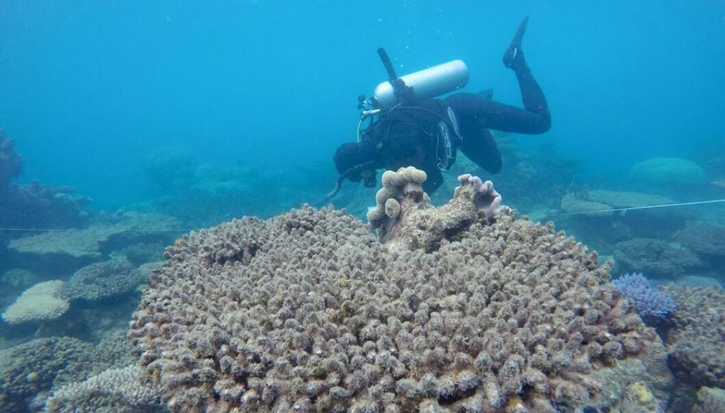 En forsker studerer døde koraller i den nordlige delen av Great Barrier Reef, Australia. (Foto: Andreas Diezel)