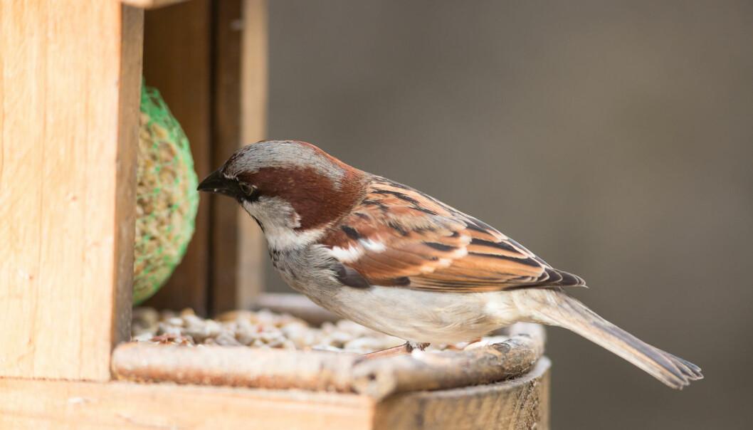 Byfugler foretrekker peanøtter framfor brødbiter