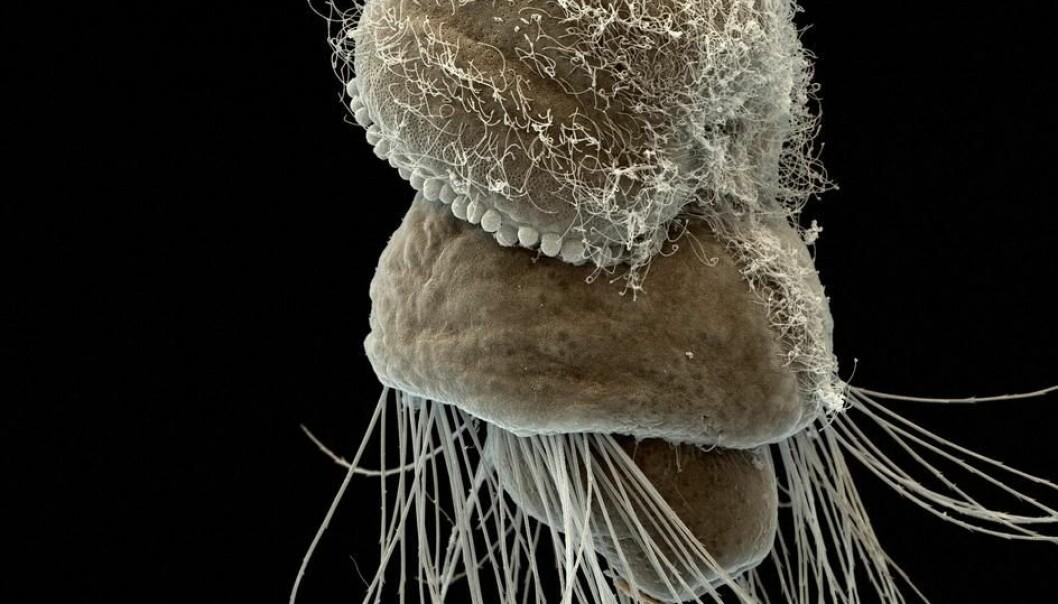 – Hypotesen har vore omstridd, men studien vår er sterk nok til at den no er avkrefta, seier ein av forskarane bak dei nye funna. Her er ein symjande brachiopod, eller ein armfoting. Han er berre 150 mikrometer  stor - ganske liten til å gi så mykje innsikt i evolusjonen,   (Foto: The Sars International Centre for Marine Molecular Biology / UiB)